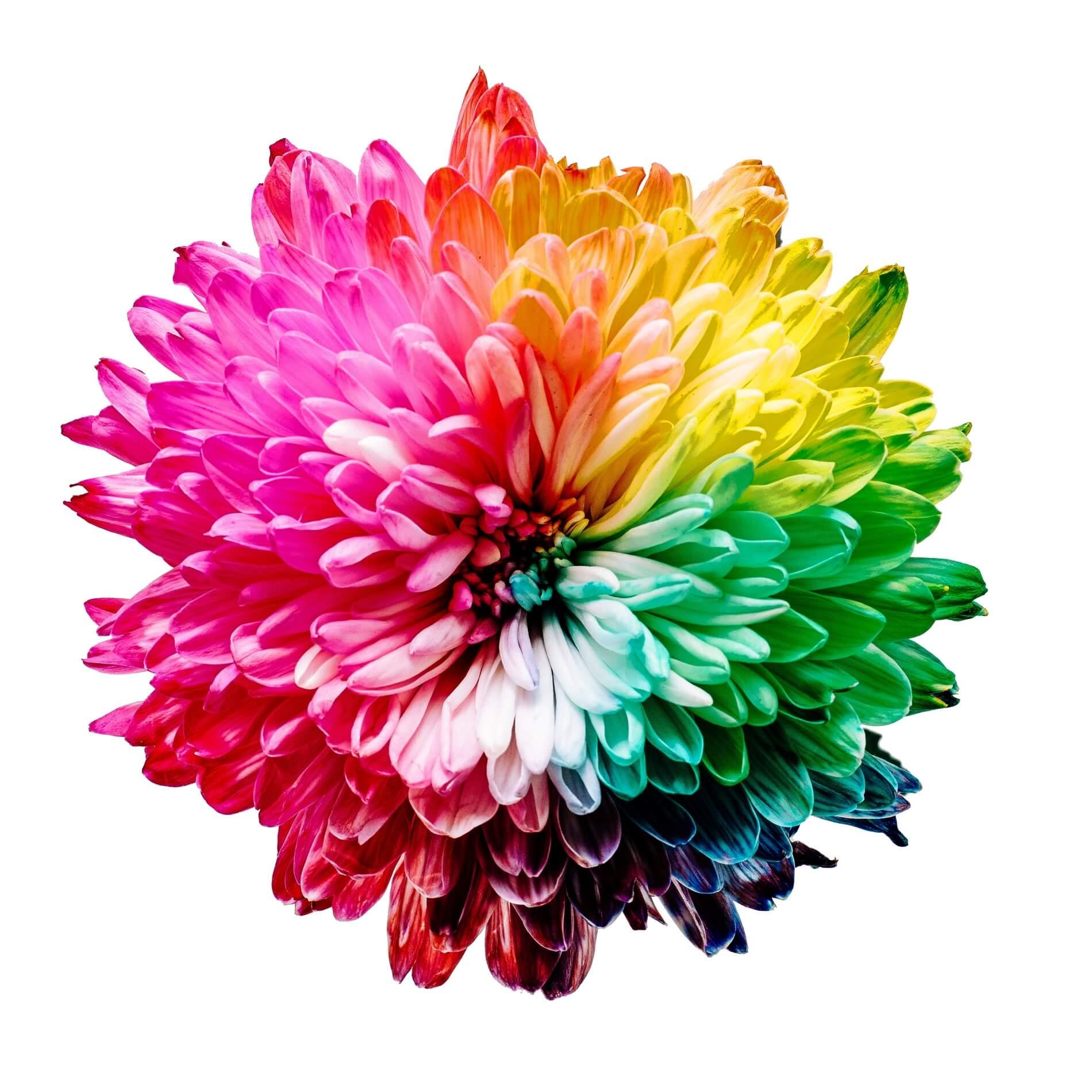 Kwiatek z wielokolorowymi płatkami na białym tle.